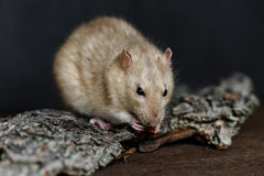 Grey fancy rat eating nut on dark background Royalty Free Stock Photography