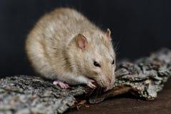 Grey fancy rat eating nut on dark background Royalty Free Stock Photos