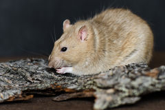 Grey fancy rat eating seeds on dark background Royalty Free Stock Photography