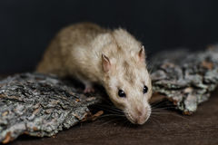 Grey fancy rat grabbing food Stock Photo