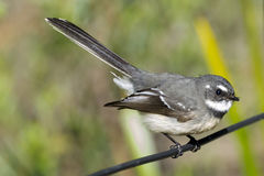 Grey fantail Rhipidura albiscapa. Juvenile Stock Photography