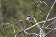 Grey Fantail (Rhipidura albiscapa). A Grey Fantail perched on a branch in Warrandyte State Park, Victoria, Australia Royalty Free Stock Images