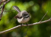 Grey fantail. (Rhipidura fuliginosa pelzelni) taken on Norfolk Island Royalty Free Stock Photos