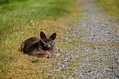 Grey Farm Cat. This grey farm cat was taking a rest, long walk back to the house Stock Image