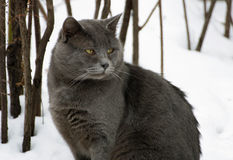 Grey fat cat. Winter. A ruffled big fat grey cat sitting in the snow. Cat looking to the side Royalty Free Stock Photography