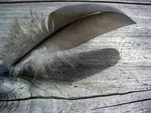 Gray Feather On Weathered Redwood royalty free stock photography