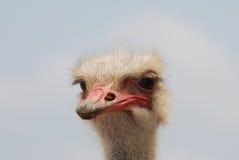 Grey Feathers Standing Up Around una testa dello struzzo Fotografie Stock