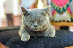 A grey cat was sleeping on a chair, squinting its eyes. stock photography