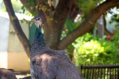 GREY FEMALE PEAHEN IN A PEN. View of grey female peahen with crest on the head and black and white markings in the face in an enclosure Stock Photos