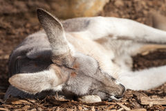 Grey Female of the Red Kangaroo Species Sleeping on Wood Chips Royalty Free Stock Images