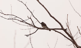 Grey female tree swallow bird Royalty Free Stock Photo