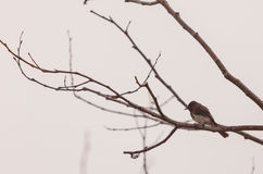 Grey female tree swallow bird Stock Images