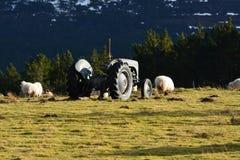 Grey Ferguson-Traktor und -schafe Lizenzfreies Stockfoto