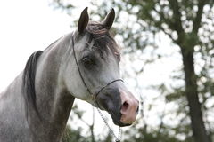 Grey filli. Head of grey arabian filli bred in polish stud with park in background stock photography