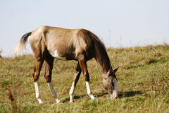 Grey filly on field Royalty Free Stock Photography