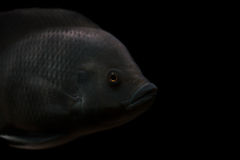 Grey fish. With golden eye on black background Royalty Free Stock Images
