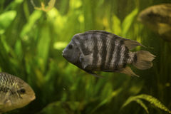 Grey fish. With stripes in an aquarium stock image
