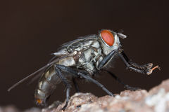 A grey flesh fly Royalty Free Stock Photo