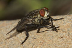Grey Flesh fly (Sarcophaga aurifrons) Stock Photo