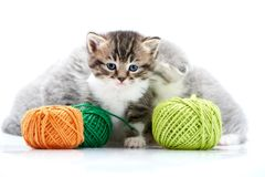 Grey fluffy cute kitties and one brown striped adorable kitten are playing with orange and green yarn balls in white. Photo studio. Wool gray funny amusing Royalty Free Stock Photo