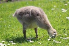 Grey Fluffy Gosling Sitting auf Gras mit Gänseblümchen stockbild