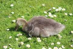 Grey Fluffy Gosling Sitting on Grass with Daisies. Stock Images