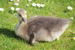 Grey Fluffy Gosling Sitting on Grass with Daisies. Stock Photography