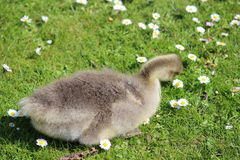 Grey Fluffy Gosling Sitting on Grass with Daisies. Stock Photo
