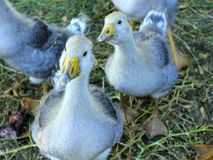 Grey fluffy goslings Royalty Free Stock Photos