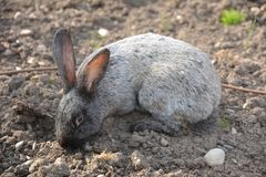 Grey fluffy rabbit in a clearing stock image