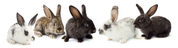 Grey fluffy rabbits Stock Images
