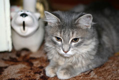Grey fluffy tabby cat lying on the floor Stock Images
