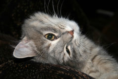 Grey fluffy tabby cat lying Stock Images