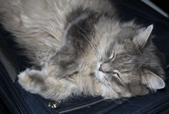 Grey fluffy tabby cat sleeping. On the suitcase Stock Images