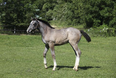 Grey foal with halters Royalty Free Stock Photo