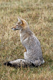 Grey fox Royalty Free Stock Photos