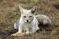 Grey fox Stock Images