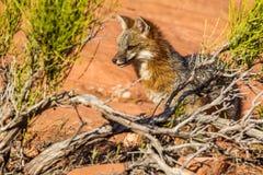 Grey Fox. Adult Grey Fox Peering From Desert Brush Stock Photo