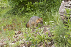 Grey Fox adulte Photo stock