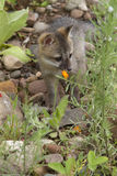 Grey Fox Baby Images libres de droits