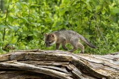 Grey Fox Baby Exploring curioso um log Foto de Stock