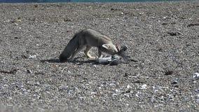 Grey Fox stock video footage