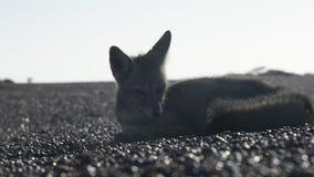 Grey Fox stock video