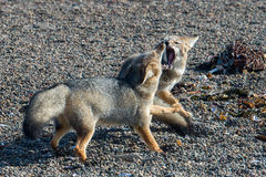 Grey fox eating a penguin on the beach Stock Photos