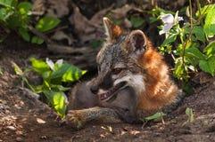 Grey Fox et x28 ; Cinereoargenteus& x29 d'Urocyon ; et Kit Comfy au repaire Photo libre de droits