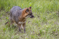 Grey Fox on hunt. Mature Grey Fox Hunting for food in green field Royalty Free Stock Images