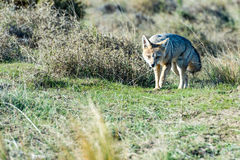 Grey fox hunting armadillo on the grass royalty free stock photos