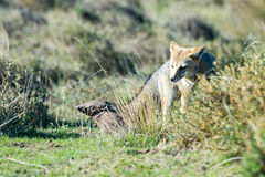 Grey fox hunting armadillo on the grass. Grey fox while hunting on the grass background stock photography