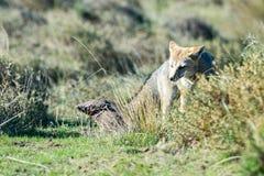Grey fox hunting armadillo on the grass stock photography