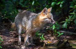 Grey Fox Hunting imagen de archivo libre de regalías